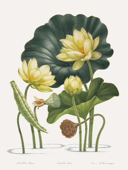 Dianne Mcelwain American Society Of Botanical Artists